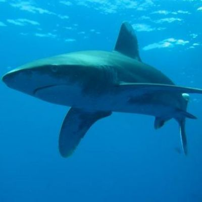 Whitetip shark in Egypt