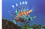 Lionfish in Egypt