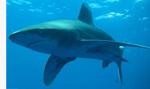 Shark in Egypt