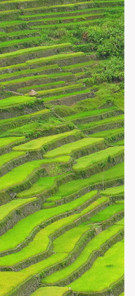Ricefields in Philippines
