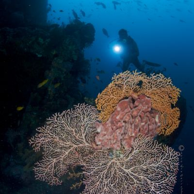 Beautiful fan coral in Indonesia