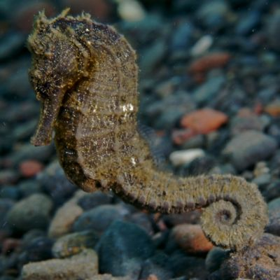 A seahorse in Indonesia