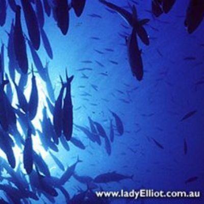 School of fish from below in Australia