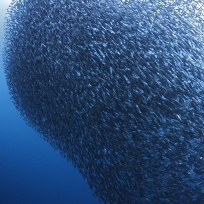Big school of fish in the Philippines